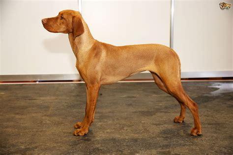 Hungarian Vizsla Dog Breed Information, Buying Advice