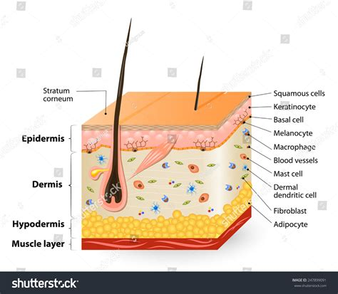 diagram of skin cell structure human skin anatomy diagram different stock