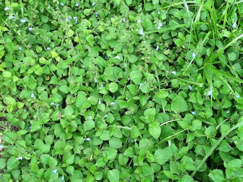 fl zone 9a b outdoor ground cover with small blue