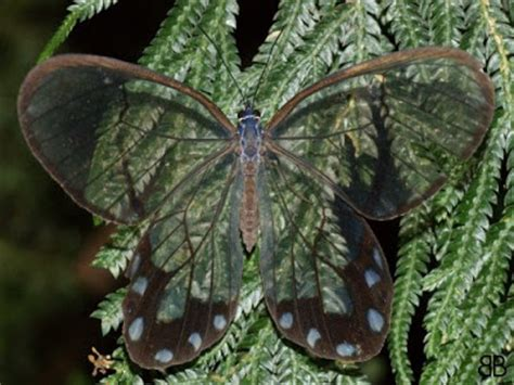 imagenes mariposas raras 10 im 225 genes de mariposas con alas transparentes cosas