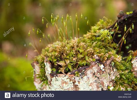 moss plants with spore capsules in wood of cree in galloway scotland stock photo royalty free