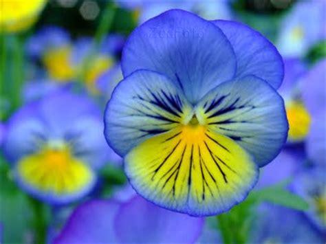 imagenes de flores llamadas pensamientos im 225 genes de flores y plantas pensamientos
