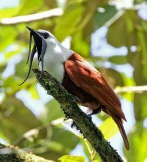 Jalak Unik by Burung Burung Unik Timkicau