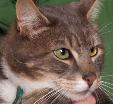 old cat disease pasha a five year old cat with dental disease pete the vet