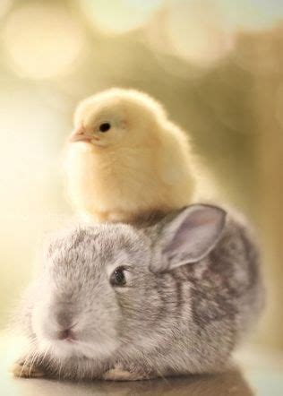 cute rabbits and chicks 1577 best images about adorable animal friends on pinterest