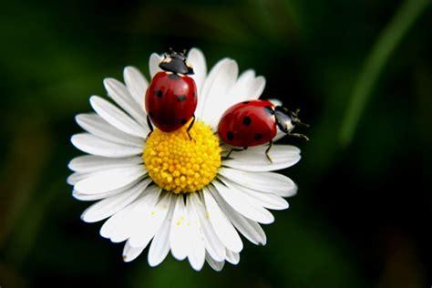 papatya Çiçeği ve Özellikleri herkese Çiçek