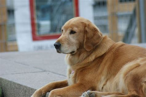 golden retriever health issues problems of golden retrievers golden retrievers