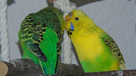 riproduzione cocorite in gabbia come far riprodurre le cocorite in gabbia animali volanti