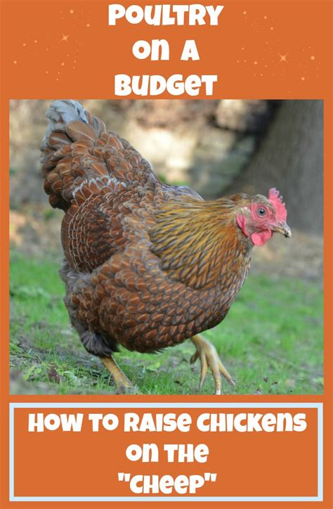 feeding backyard chickens poultry on a budget how to save money raising chickens