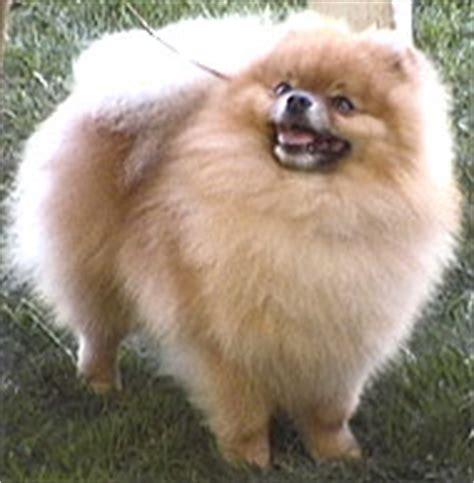 pomeranian adults size pomeranian breeds encyclopedia dogs in depth
