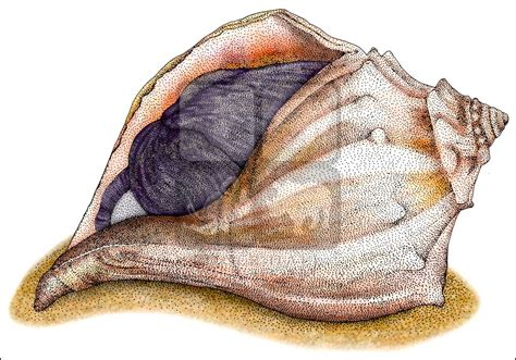 Knobbed Whelk Facts knobbed whelk busycon carica line and color illustration