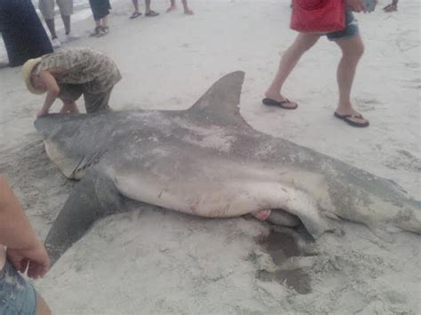 Photos: Massive Bull Shark Snagged Off Pinellas County