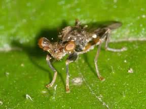 Eyed Fly Stalk Eyed Fly Sphyracephala Brevicornis Bugguide Net