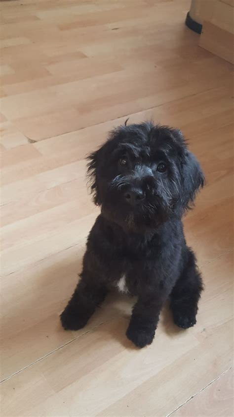 schnoodle puppies for sale miniature schnoodle puppies for sale leicester leicestershire pets4homes