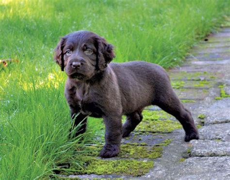 how to gun dogs how to deal with year puppy issues gun magazine