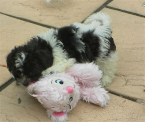bichon shih tzu puppy shih tzu x bichon frise puppies for sale leeds west pets4homes
