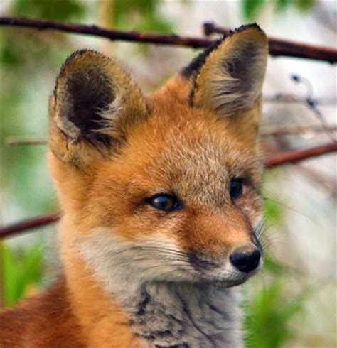 canadian geographic photo club baby red fox