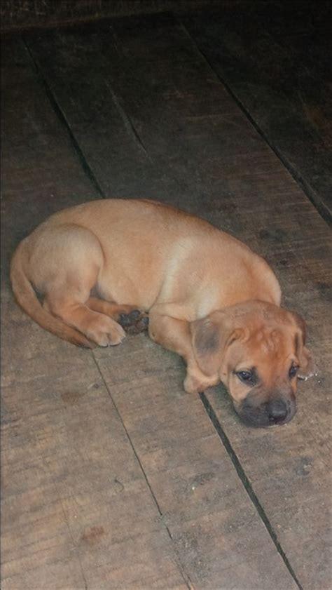 boerboel puppies price boerboel puppies at non breeders price pets nigeria
