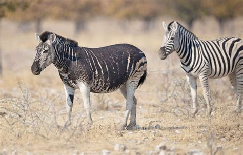 black zebra pictures rare black zebra with no stripes caught on