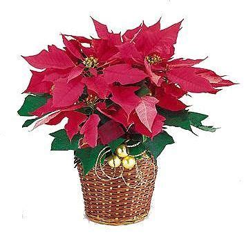 traditional poinsettia christmas holiday flowers