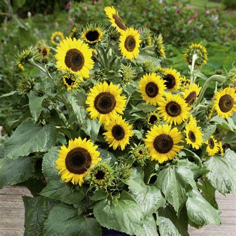 Sunflower Plants   Waooh!