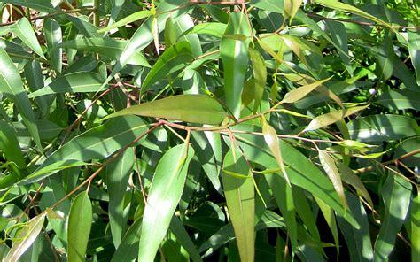 eukalyptus pflanze kaufen eukalyptus pflanze kaufen eucalyptus gunnii