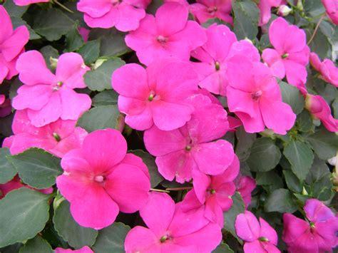 fiori di vetro dazzler violet impatiens