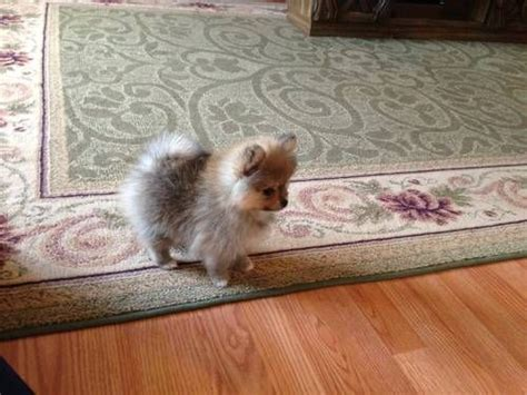 pomeranian puppies at 2 weeks 17 best images about adorable babies with paws on japanese spitz