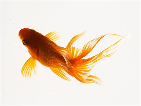 wallpaper goldfish goldfish wallpapers 2013 wallpapers