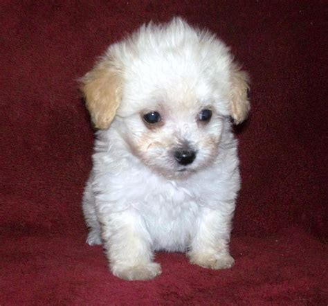 maltese x poodle lifespan lhasa apso maltese cross breeds picture