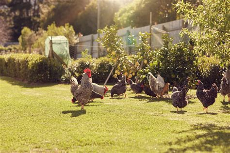 Backyard Chickens Getting Started Ultimate Guide To Getting Started With Backyard Chickens