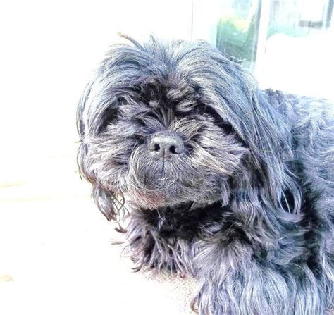 shih tzu poodle black 72 best images about dogs dat u on poodles portuguese water