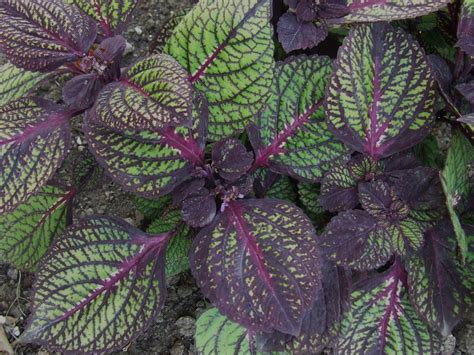 coleus made for the shade or sun