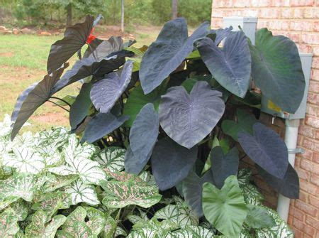 taro leaves plant care colocasia esculenta black magic taro black magic from bloem gardens