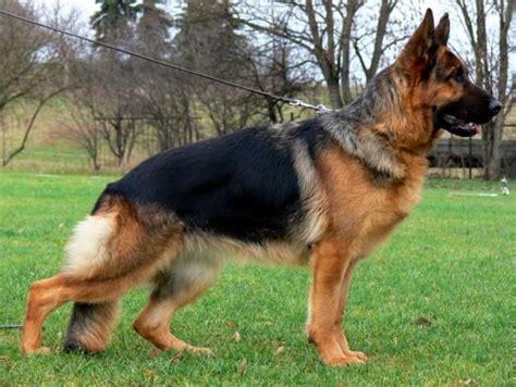 german shepherd cost best 20 coat german shepherd ideas on german shepherd pups german