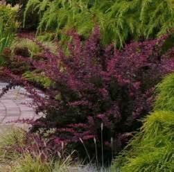 Rose Edible Flowers - barberry berberis vulgaris dennis 7 dees