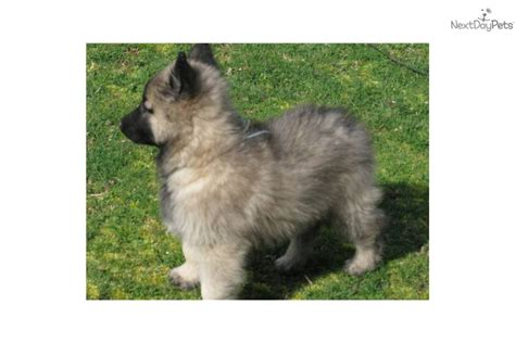 belgian shepherd puppies for sale price belgian shepherd tervuren puppy for sale near nanaimo columbia 910e01cc f1b1