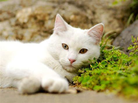 wallpaper white cat hd hd wallpaper hd wallpapers best cats hd wallpapers high