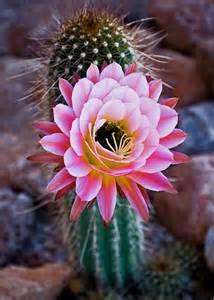 blooming cactus junesteward s blog
