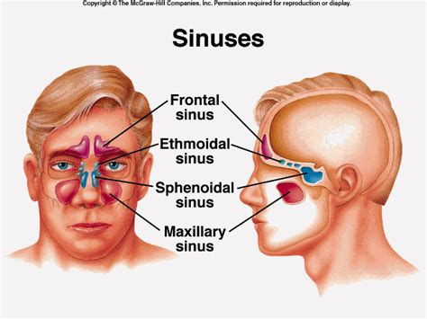 sinus diagram anatomy of the respiratory system