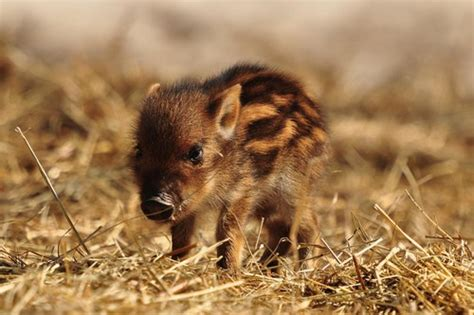 baby wild boar daily squee cute animals cute baby