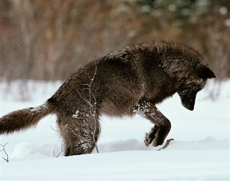 5 11 Black Wolf Brown yellowstone wolves and writing