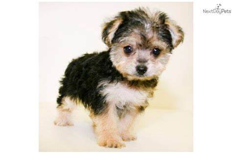 morkie puppies for sale morkie teacup morkie morkie puppies for sale maltipoo auto design tech