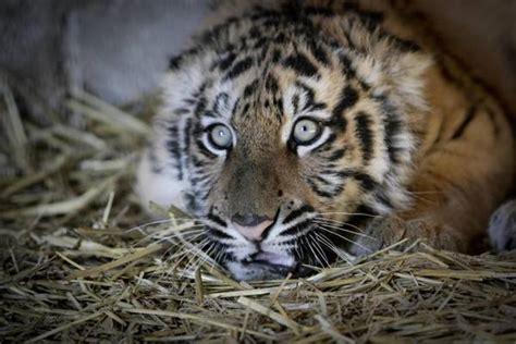 tigre in gabbia in casa a napoli con tigre in gabbia photostory