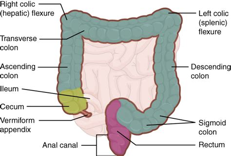 what is the first section of the large intestine 23 5 the small and large intestines anatomy and physiology