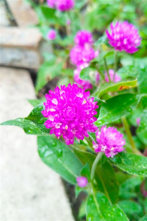 cara membuat curan warna ungu bunga kancing baju warna ungu cantik steemit