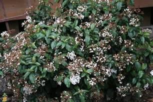 Full Sun Bushes Spring Bouquet Viburnum The Planting Tree