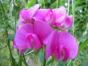 flower homes sweet pea flowers