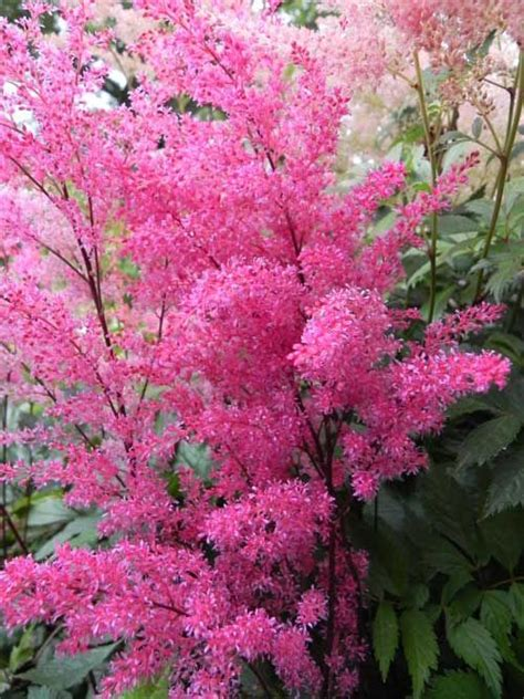Aphrodite 60cm 17 best images about flower astilbe on