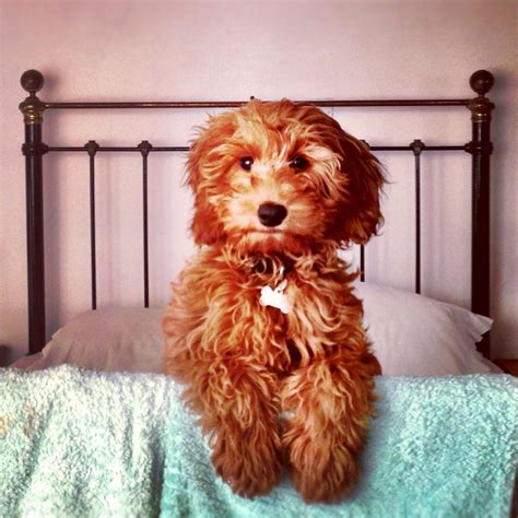 retriever doodle puppies for sale nz the 25 best labradoodle ideas on